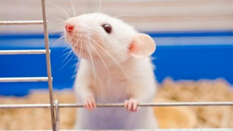 stressed_rat